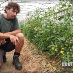 Le mulch d'herbes sur culture de tomates